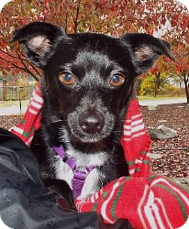 Chihuahua/Terrier (Unknown Type, Small) Mix Dog for adoption in Grants Pass, Oregon - Hardy