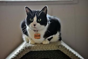 Domestic Shorthair Cat for adoption in Montreal, Quebec - Chester