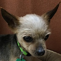Yorkie, Yorkshire Terrier Mix Dog for adoption in Lexington, Kentucky - Marlee
