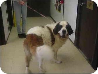 St. Bernard Dog for adoption in Manassas, Virginia - Copper