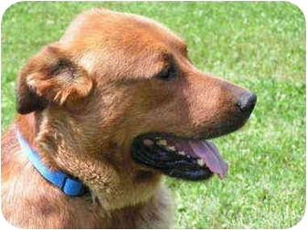 Golden Retriever/Shepherd (Unknown Type) Mix Dog for adoption in Rigaud, Quebec - Sarge