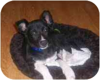 Terrier (Unknown Type, Small) Mix Dog for adoption in Foster, Rhode Island - Spanky