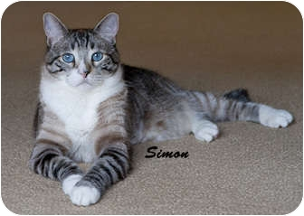 American Shorthair Cat for adoption in Tracy, California - Simon