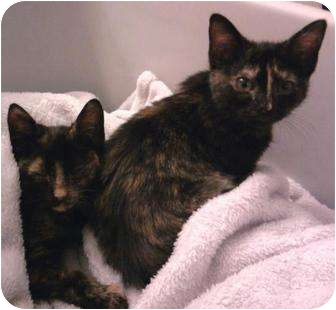 Domestic Shorthair Kitten for adoption in Harrisburg, North Carolina - Little Pinky