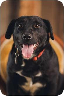 Labrador Retriever/Corgi Mix Dog for adoption in Portland, Oregon - Holly Hobbie