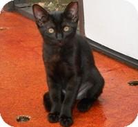 Domestic Shorthair Kitten for adoption in Tampa, Florida - Ciara
