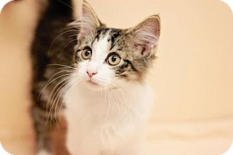 Domestic Mediumhair Kitten for adoption in Franklin, Indiana - Tufts