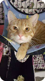 Domestic Shorthair Cat for adoption in Muskegon, Michigan - River