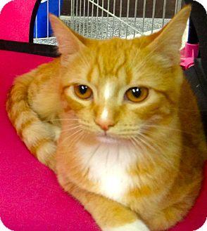 Domestic Shorthair Kitten for adoption in Escondido, California - Sunset