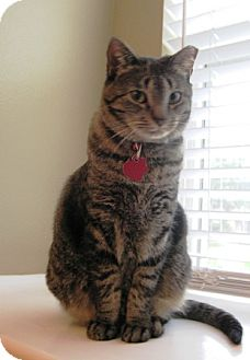 Domestic Shorthair Cat for adoption in Houston, Texas - Twiggy