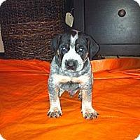Adopt A Pet :: Speedo - Katy, TX