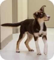 Husky Puppy for adoption in Sterling, Kansas - Tova