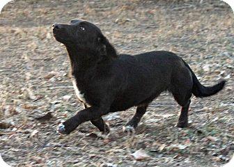 Basset Hound/Labrador Retriever Mix Dog for adoption in Westminster, Colorado - Zurich