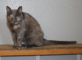 Domestic Mediumhair Cat for adoption in Roseville, California - Budda