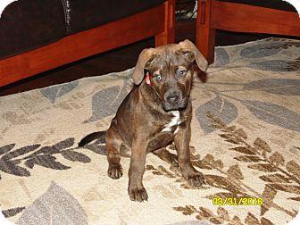 Chesapeake Bay Retriever/Boxer Mix Puppy for adoption in Mooresville, Indiana - annie