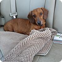 Adopt A Pet :: Tom - Pinellas Park, FL
