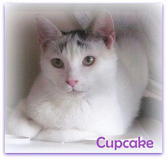 Domestic Shorthair Cat for adoption in Culpeper, Virginia - Cupcake