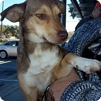 Adopt A Pet :: Tootsie - Von Ormy, TX