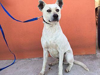 Labrador Retriever Mix Dog for adoption in San Diego, California - Lukas