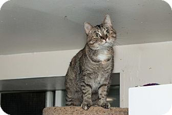Polydactyl/Hemingway Cat for adoption in Chicago, Illinois - Ashley