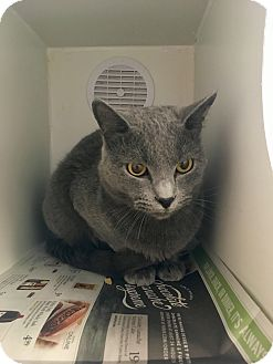 Domestic Shorthair Cat for adoption in Nashville, Tennessee - Smokey