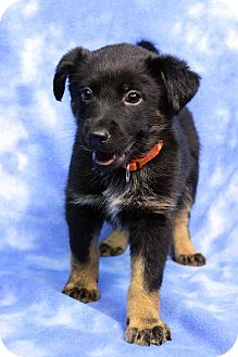 Shepherd (Unknown Type) Mix Puppy for adoption in Westminster, Colorado - Victor