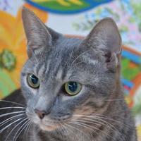 Adopt A Pet :: ShayShay - Englewood, FL