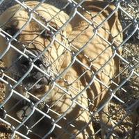 Labrador Retriever Mix Dog for adoption in Opelousas, Louisiana - bull