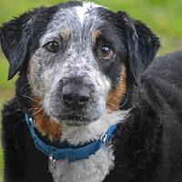 Adopt A Pet :: SHERLOCK - Pittsburgh, PA