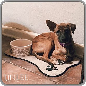 Chihuahua Mix Puppy for adoption in DeForest, Wisconsin - Linlee