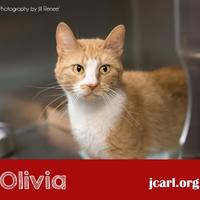 Domestic Shorthair/Domestic Shorthair Mix Cat for adoption in Newton, Iowa - Olivia