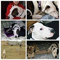 Adopt A Pet :: LuLu - Baltimore, MD
