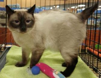 Siamese/Domestic Shorthair Mix Cat for adoption in Powder Springs, Georgia - CEDRIC