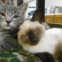 Adopt A Pet :: Presley - Oskaloosa, IA