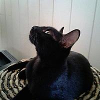 Adopt A Pet :: Niko - Honolulu, HI