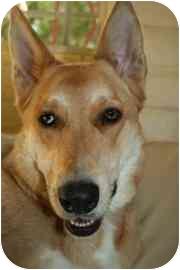 Anatolian Shepherd/Shepherd (Unknown Type) Mix Dog for adoption in tucson, Arizona - Sadie/CeCe