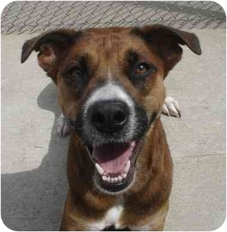 German Shepherd Dog/Labrador Retriever Mix Dog for adoption in Lake Odessa, Michigan - Canela