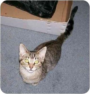 Domestic Shorthair Cat for adoption in Sheboygan, Wisconsin - Marty