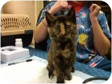 Domestic Shorthair Kitten for adoption in Medina, Ohio - Uno