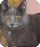 Domestic Shorthair Cat for adoption in Portage la Prairie, Manitoba - Parker