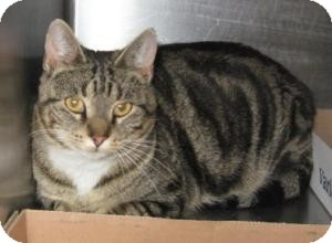 Domestic Shorthair Cat for adoption in Stillwater, Oklahoma - Tiny