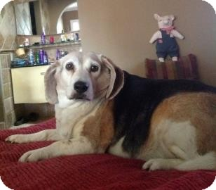 Beagle Mix Dog for adoption in Phoenix, Arizona - Sally
