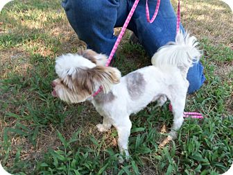 Shih Tzu Mix Dog for adoption in Cat Spring, Texas - E.T.