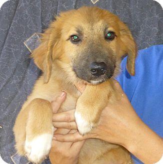 Golden Retriever/Labrador Retriever Mix Puppy for adoption in Oviedo, Florida - Flo