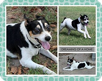 Rat Terrier Dog for adoption in Lufkin, Texas - Trigger