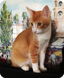 Oriental Kitten for adoption in Cerritos, California - Goldie