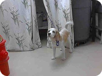 Beagle Dog for adoption in Houston, Texas - Mr. Butters