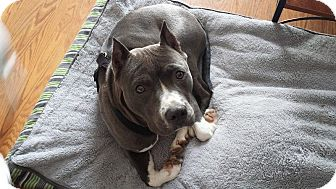 American Pit Bull Terrier/Bulldog Mix Dog for adoption in Crown Point, Indiana - Mae( adoption pending)