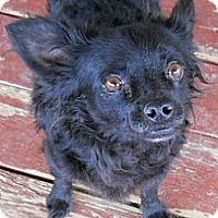 Adopt A Pet :: Blackie - dewey, AZ