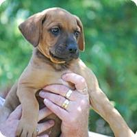 Adopt A Pet :: Dolly - Providence, RI